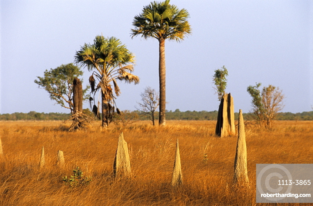 Magnetic termite mounds on the Nifold Plains in Lakefield National Park, Queensland, Australia