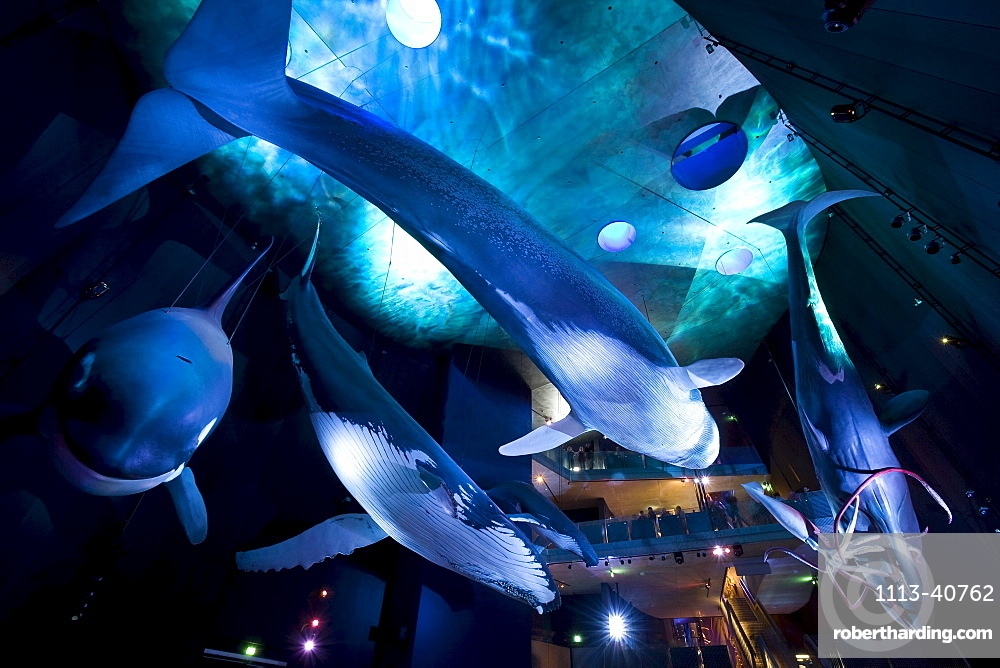 Ozeaneum, german sea museum about sealife, exposition with life size whales, exhibition hall Riesen der Meere, Stralsund, Mecklenburg-Western Pomerania, Germany, Europe