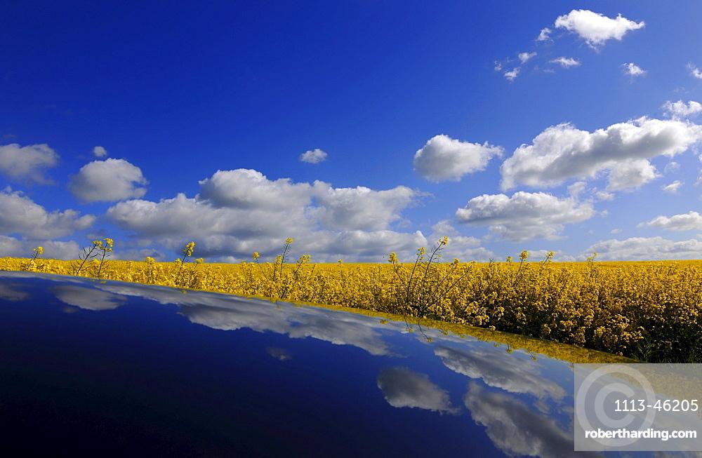 Canola field under white clouds, Usedom, Mecklenburg-Western Pomerania, Germany, Europe