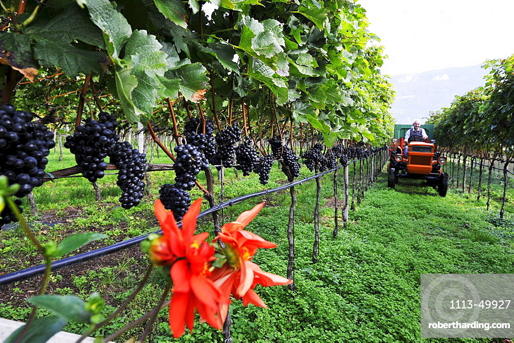 Vine farmer harvesting grape, Andriano, Alto Adige, South Tyrol, Italy