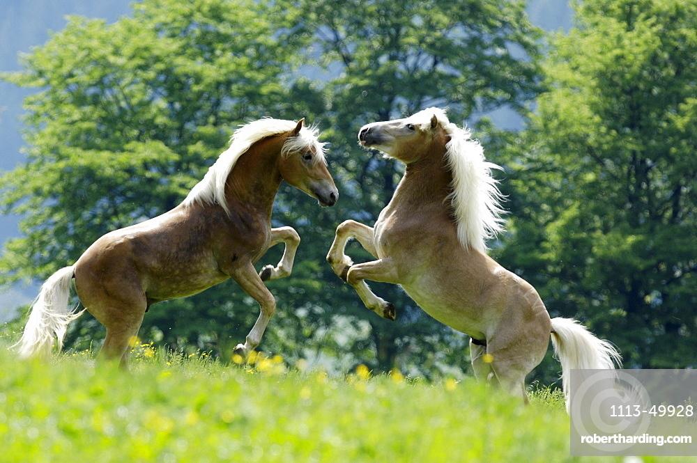 Haflinger horses, Alto Adige, South Tyrol, Italy