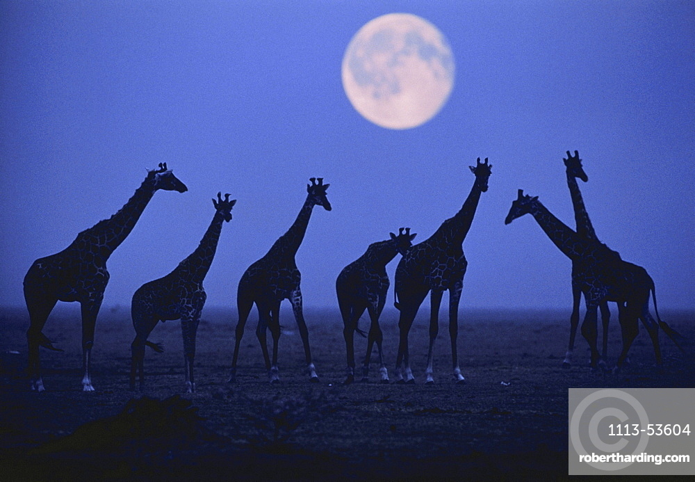 Silhouette of Giraffes on an African plain, Full moon in the background, Wilderness, Nature, Africa