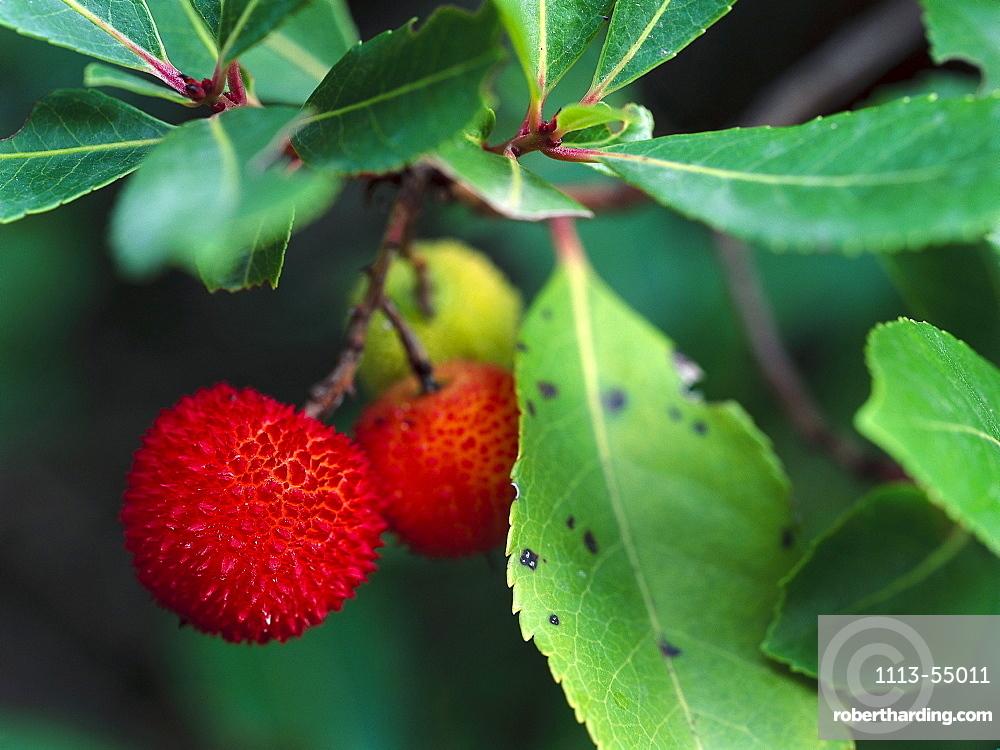 Fruits of Strawberry treebai