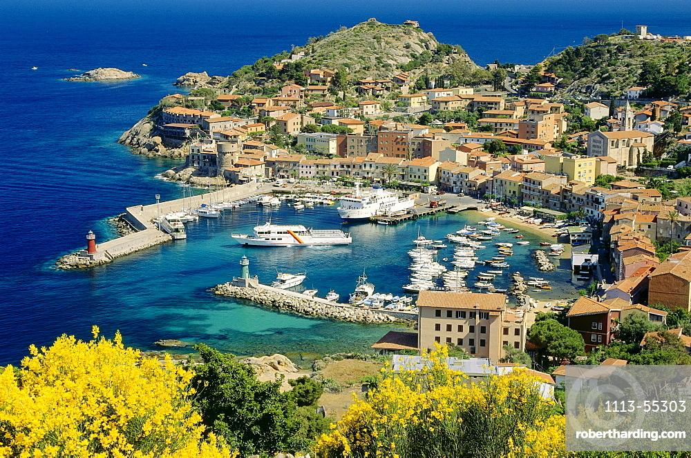 Blooming gorse, lat. Ulex, Giglio Porto, Isola del Giglio, Giglio Island, Tuscan Island, Mediterranean Sea, Tuscany, Italy