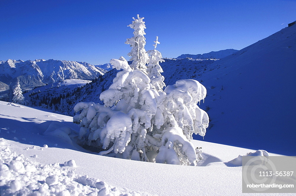 Conifer tree laden with snow, Winter Mountain Landscape