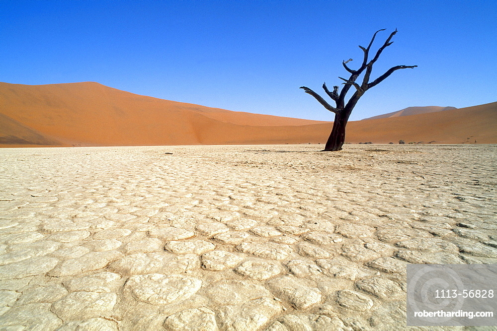 Bare tree standing in the desert under a blue sky, Namib, Naukluft Park, Namibia, Africa