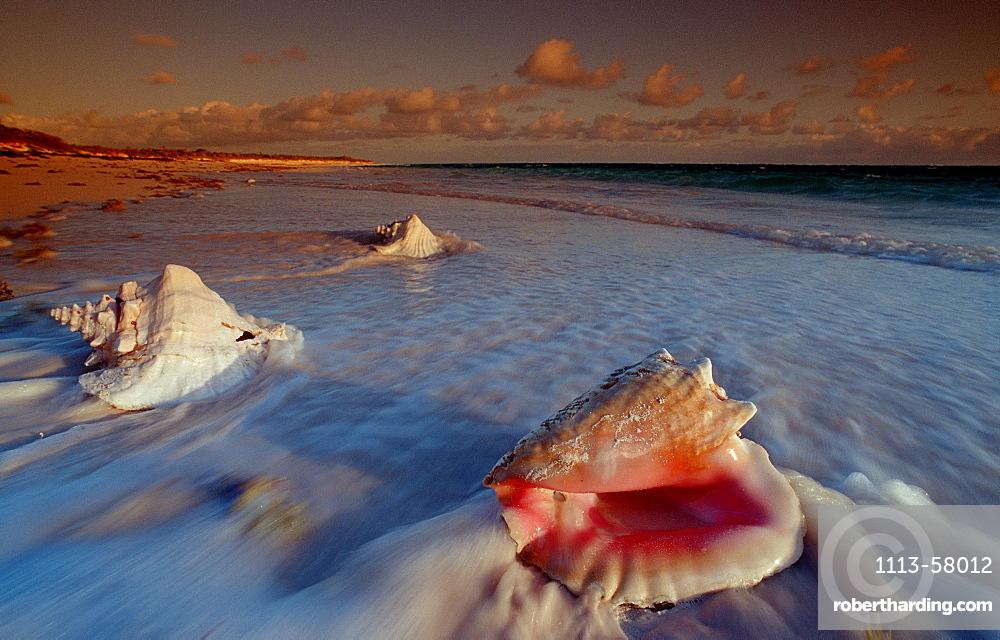 Conch at sandy beach