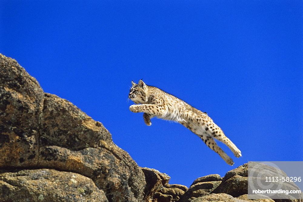 Bob Cat leaping, Felis rufus, North America