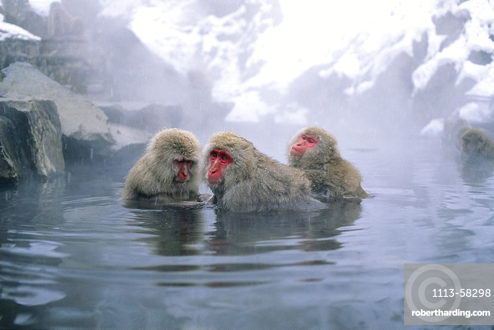 Japanese Macaques in hot spring, Japanese Alps, Japan