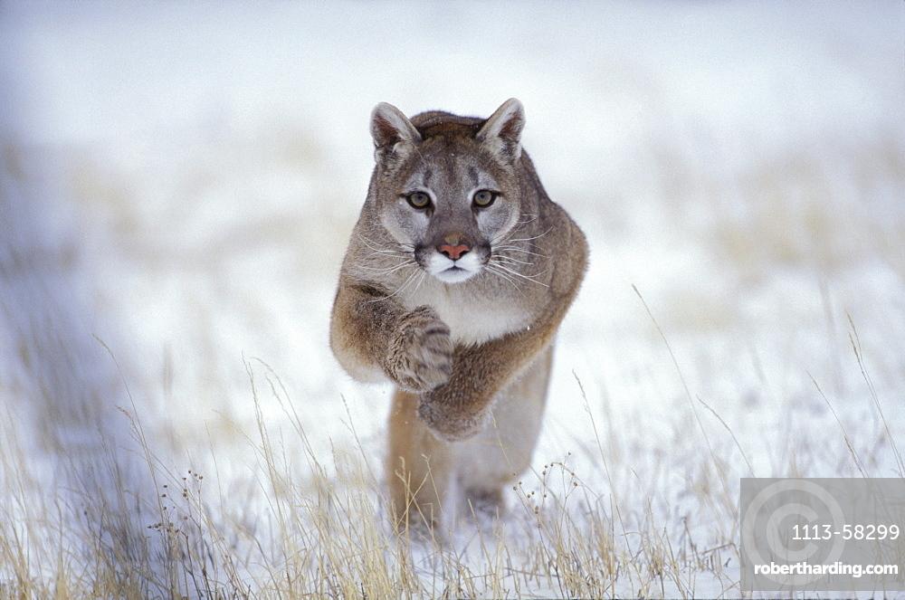 Puma jumping, Winter landscape, Rocky Mountains, Colorado, USA