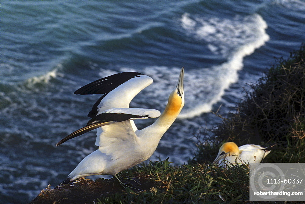 close-up of gannet, mainland colony at Muriwai, New Zealand