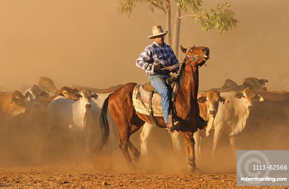 Mustering cattle with horses, Lansdowne Station, Kimberley, Western Australia, Australia