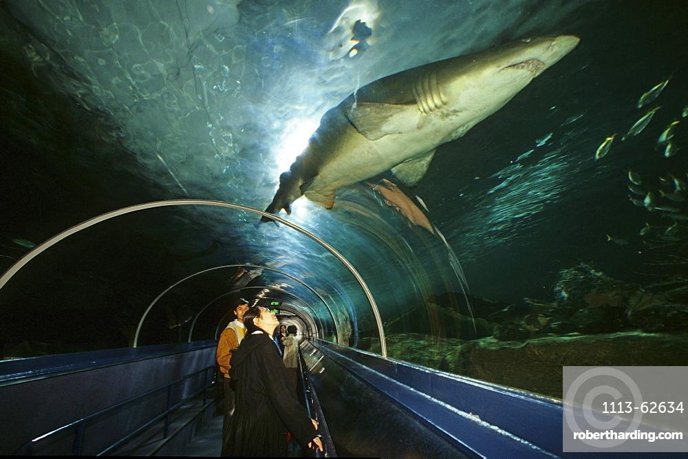 Shark in the Sydney Aquarium, Darling Harbour, Sydney, Sydney Harbour, New South Wales, Australia