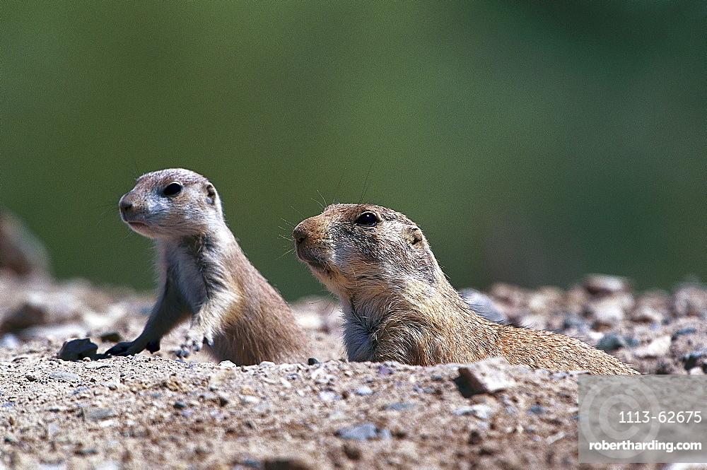 Close-up of black-tailed prairie dogs, Arizona, USA, America