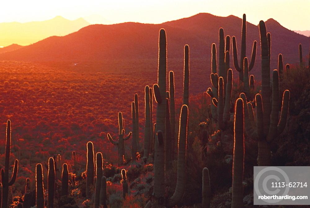 Saguaro cactuses in the evening sun, Sonora desert, Arizona, USA, America
