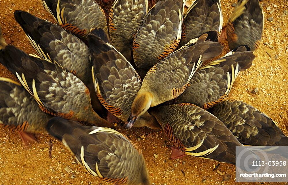 A group of australian ducks, Billabong Sanctuary, Townsville, Queensland, Australia
