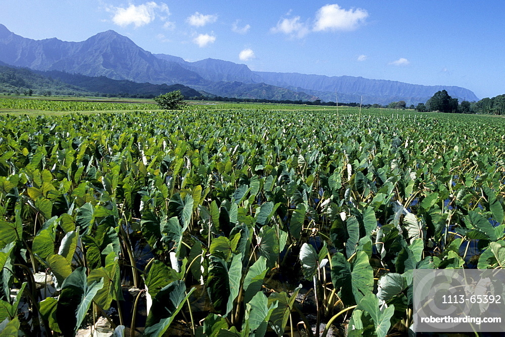 Taro Plantation, Near Hanalei, Kauai, Hawaii, USA