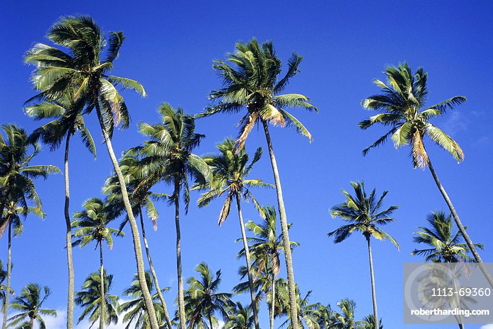 Coconut Trees, Rarotonga, Cook Islands
