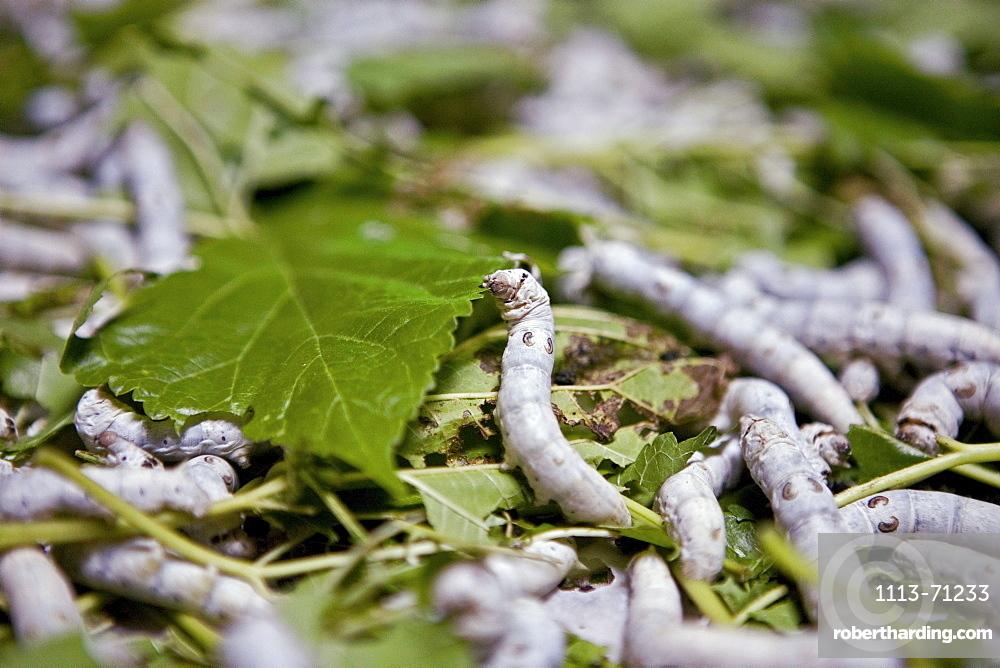 Silkworms eating green leaves, Nanping, Huang Shan, China, Asia
