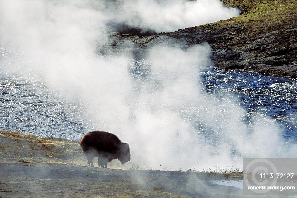 Bison warming at hot spring, Yellowstone National Park, Wyoming, USA, America