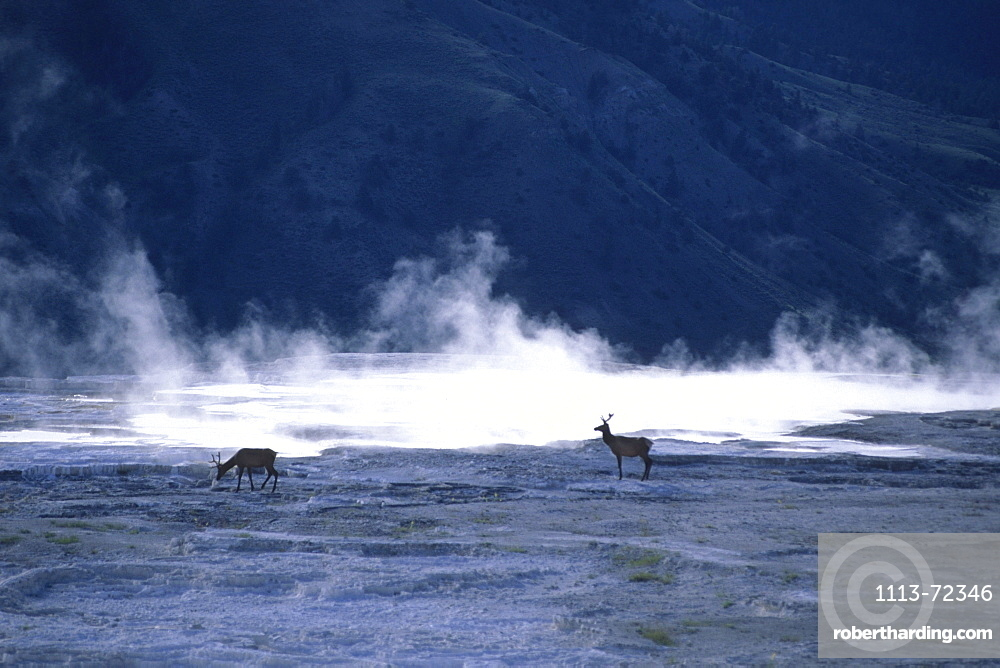 Elk on Minerva Terrace, Mammoth Hot Springs, Yellowstone National Park, Wyoming, USA