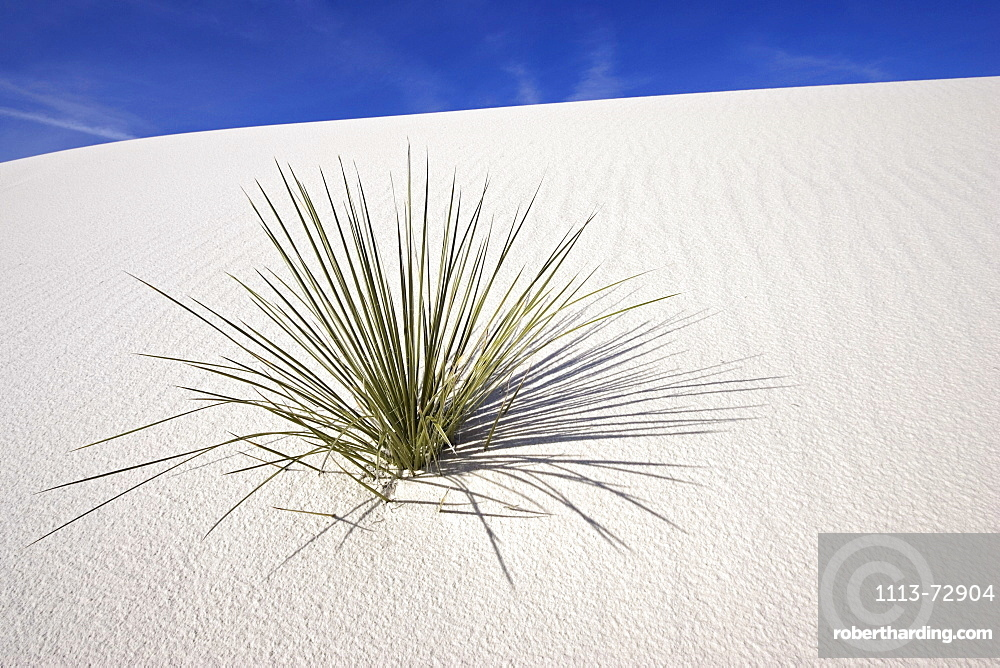 Yucca in dunes, White Sands National Monument, Chihuahua desert, New Mexico, USA, America