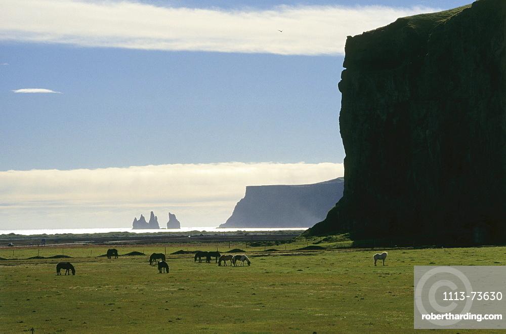 Islandic horses grazing in a field, Pony, Iceland