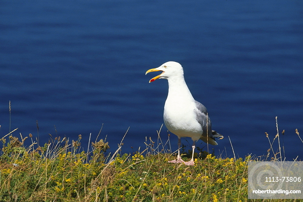 Silver seagull, Helgoland, North Sea, Lower Saxony, Germany