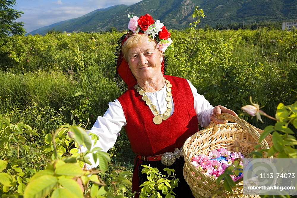 Rose picking woman at harvest, Rose Festival, Karlovo, Bulgaria, Europe