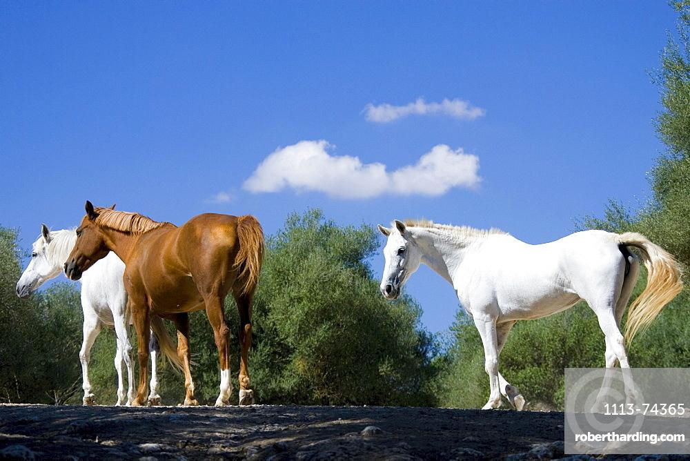 Three horses, Majorca, Spain
