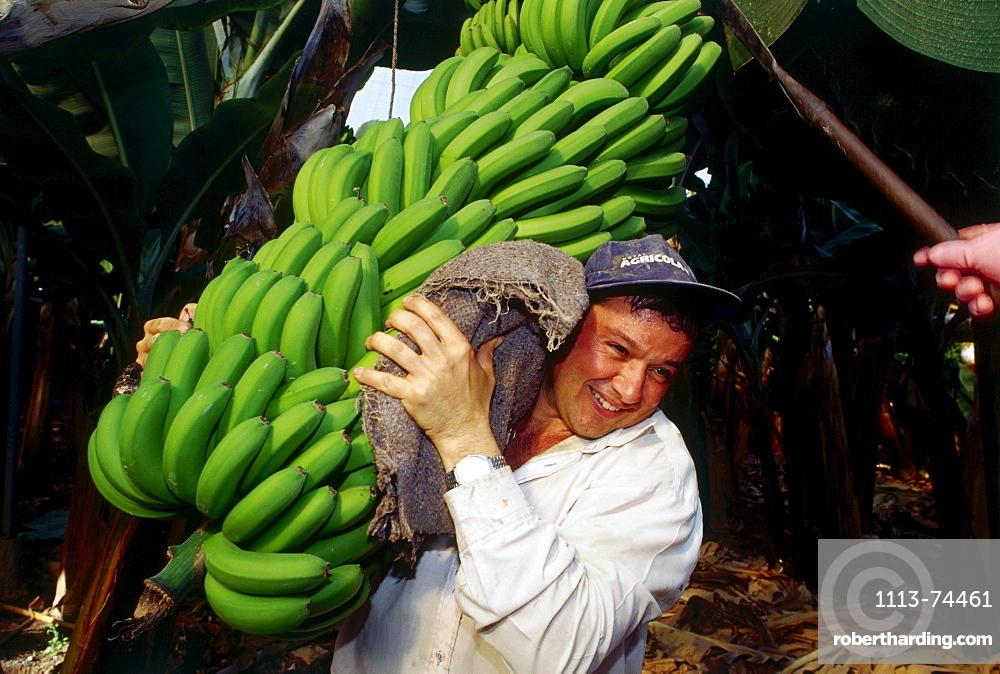Worker at banana harvest, banana plantation near Galdar, Gran Canaria, Canary Islands, Spain