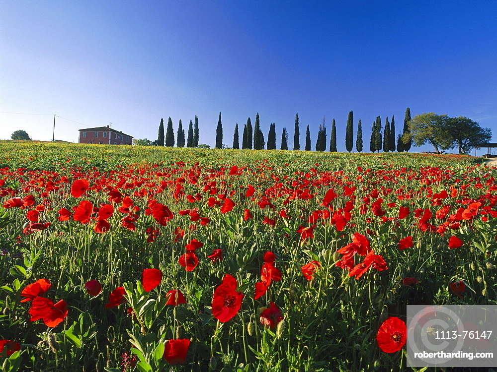 Country house with papaver and cypresses, Val d'Orcia, Tuscany, Italy