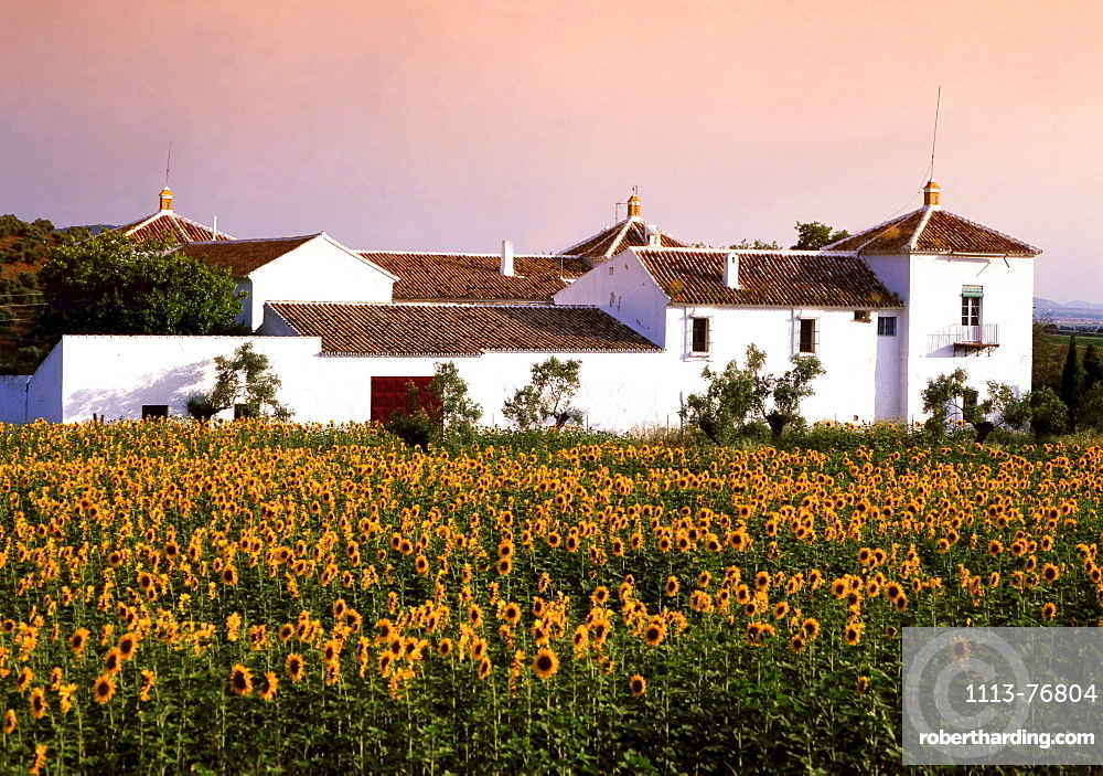 Spain Andalusia Finca sunflowers