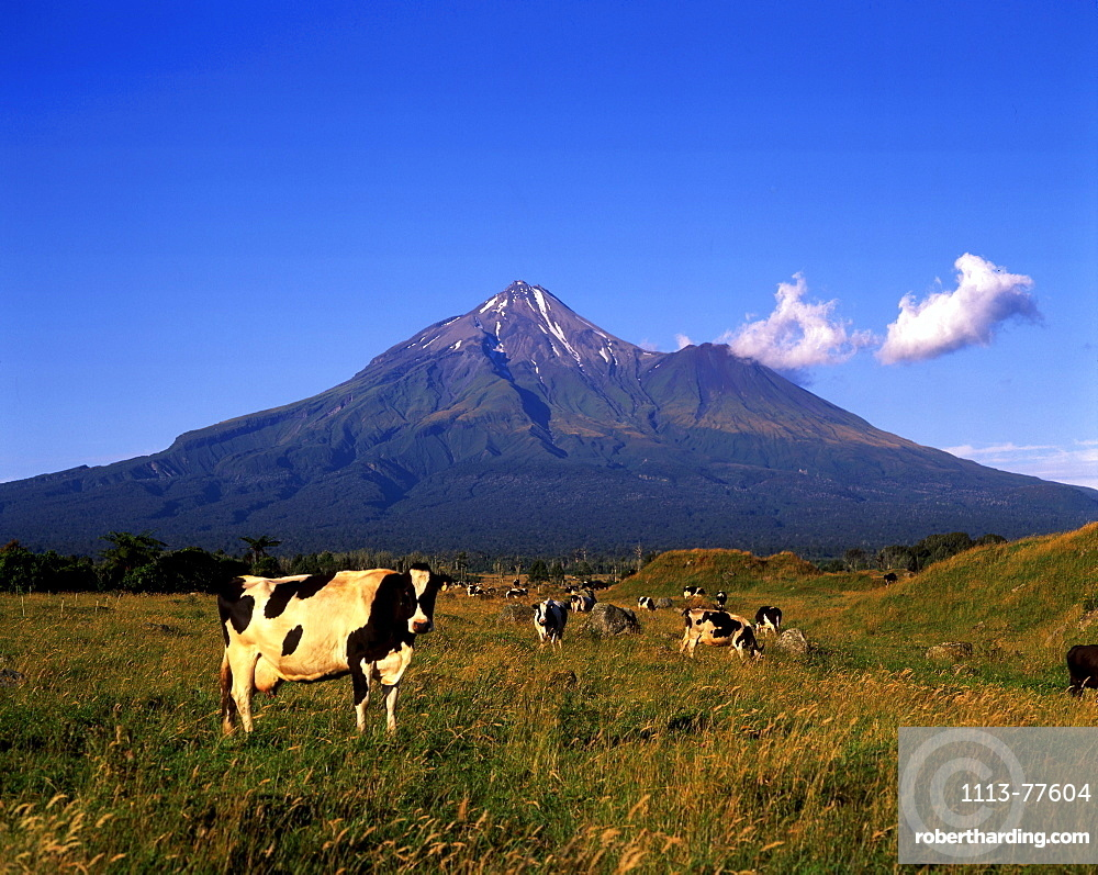 Cows, Mt. Taranaki, Mount Egmond National Park, New Zealand