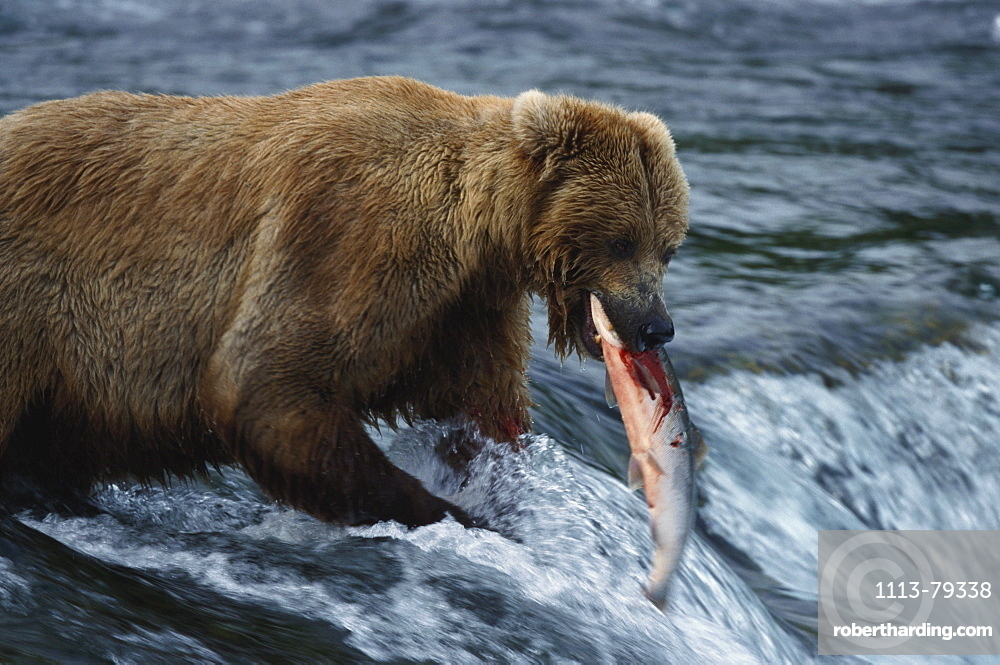 Brown bears, Grizzly, Ursus Arctos with salmon, Brooks River Falls, Katmai National Park, Alaska, USA