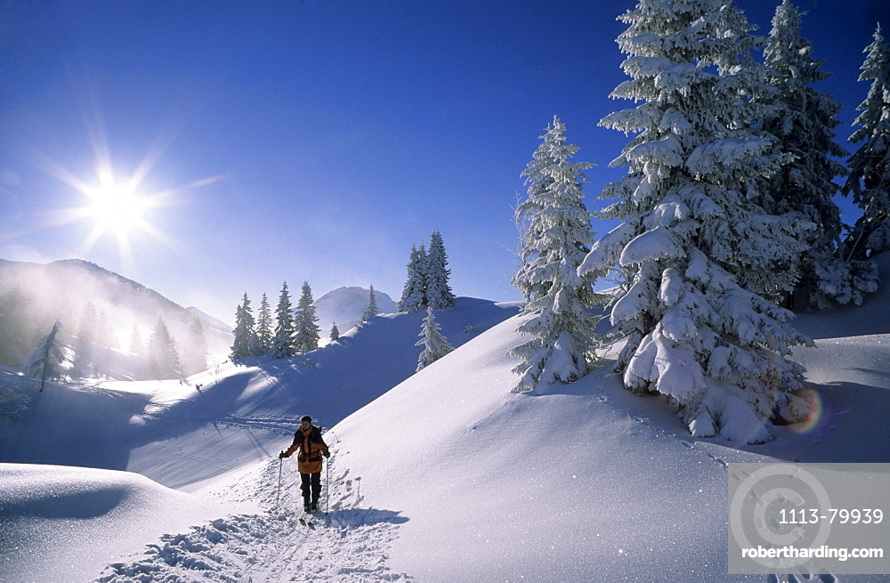 Deeply snow-covered scene with fir trees at Schildenstein with backcountry skier in backlight, Bavarian alps, Tegernsee, Upper Bavaria, Bavaria, Germany