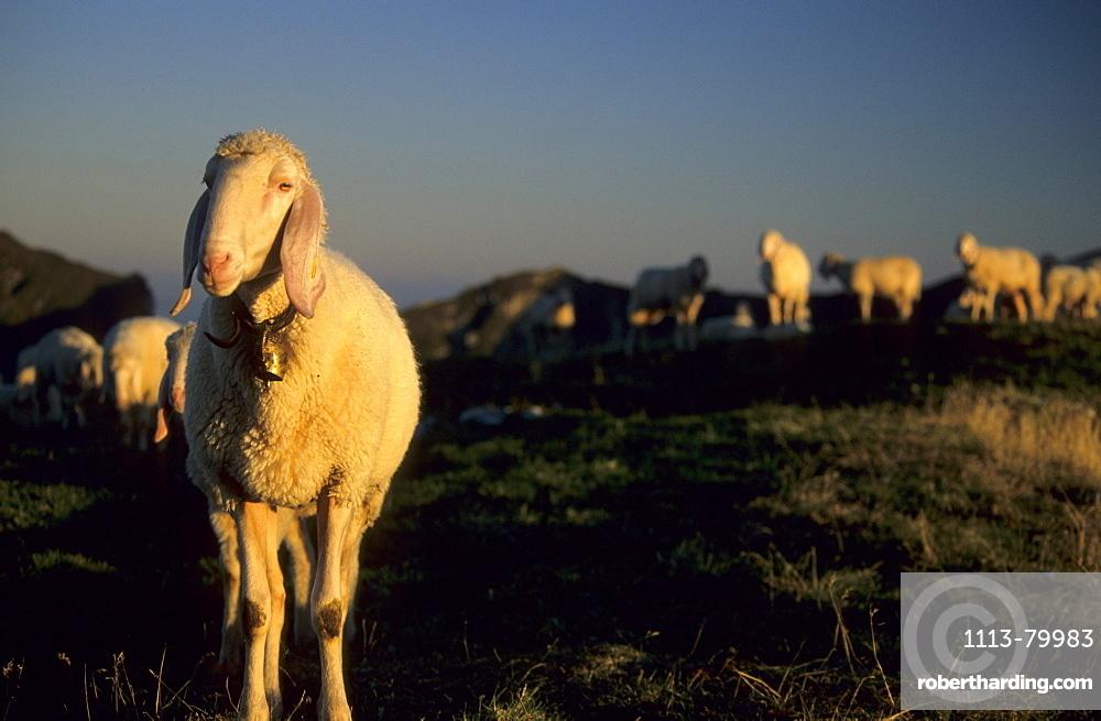sheep with herd on alpine pasture, Bavarian alps, Upper Bavaria, Bavaria, Germany