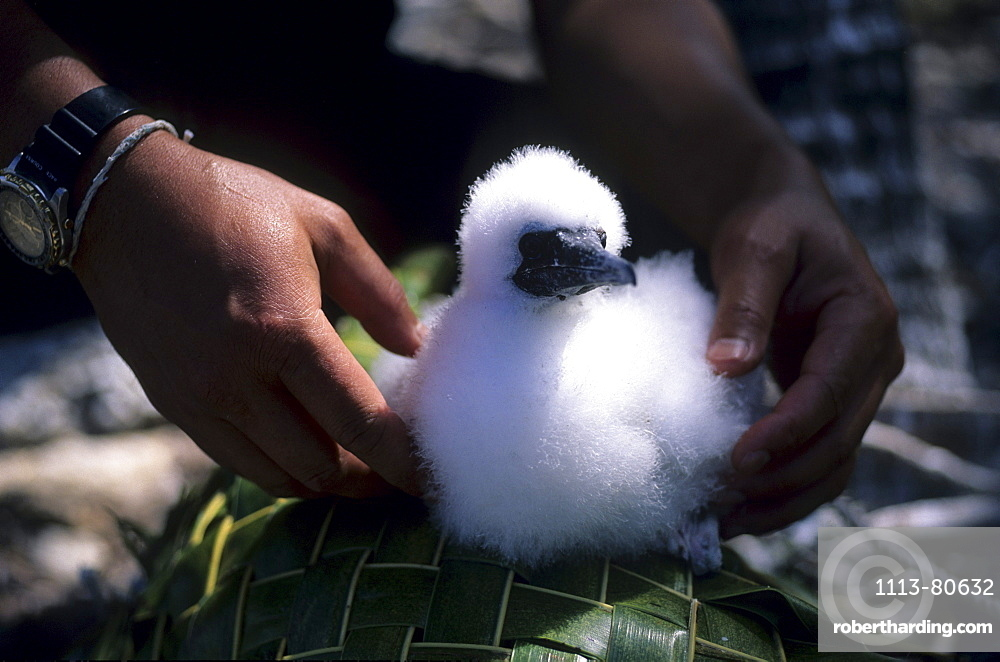 Booby chick, National Park North Keeling Island, Australia