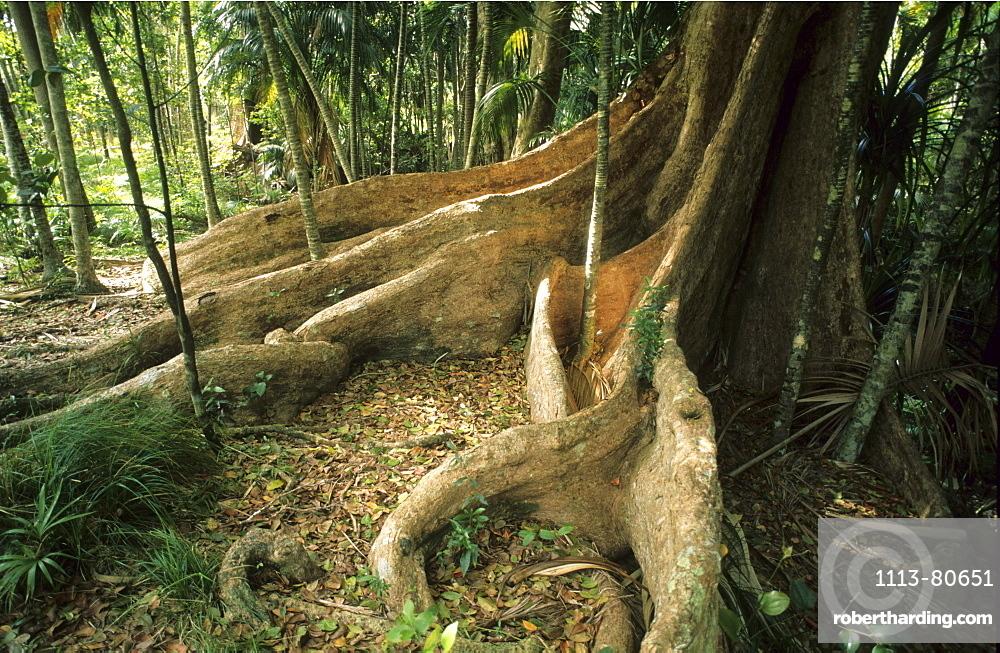 Rainforest at the base of Mt. Lidgbird, Australian