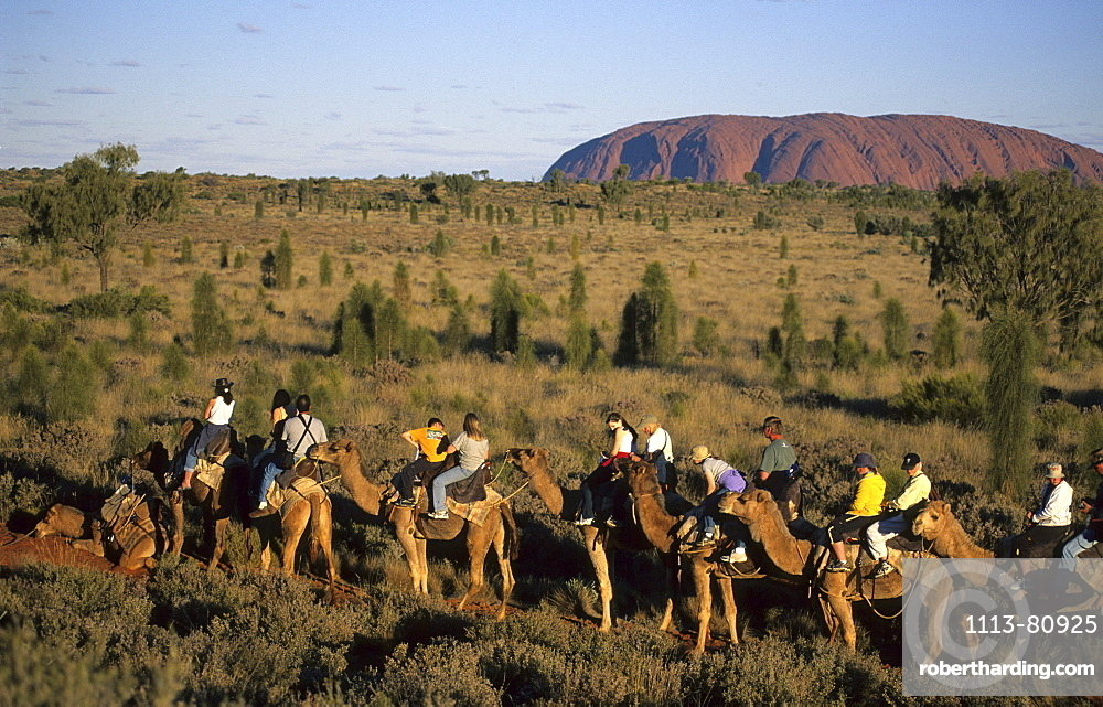A group of tourists on a camel ride with Uluru in the background, Central Australia, Northern Territory, Australia