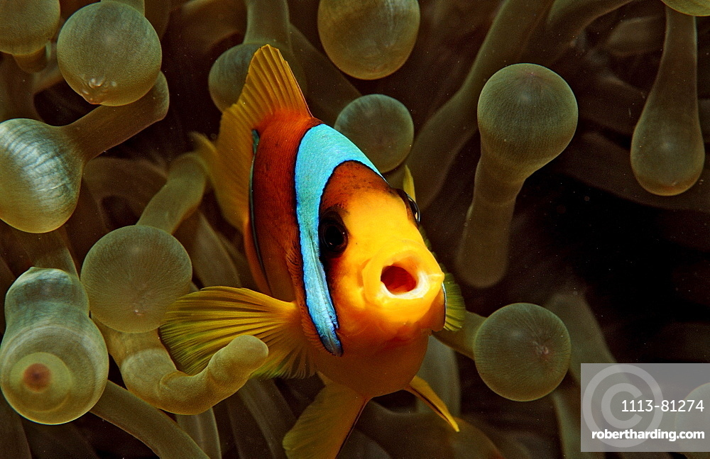 Twobar anemone fishe, Amphiprion bicinctus, Sudan, Africa, Red Sea