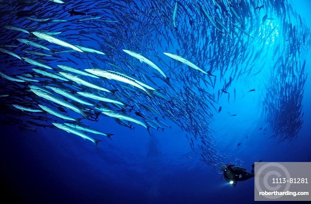 Blackfin barracuda, Sphyraena qenie, Sudan, Africa, Red Sea