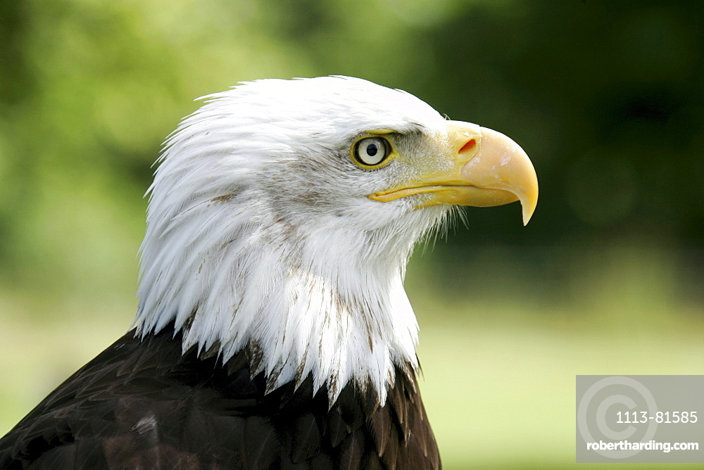 Close up of an eagle, Southern Highlands, Scotland, Great Britain, Europe