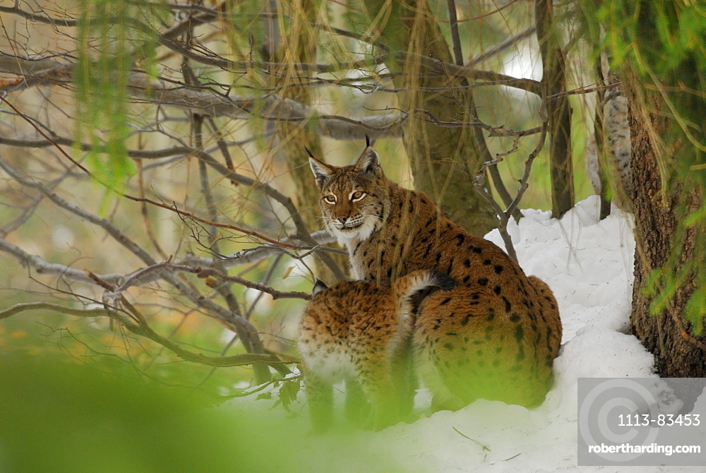 lynx, female with cub, outdoor-enclosure, Bavarian Forest National Parc, Lower Bavaria, Bavaria, Germany