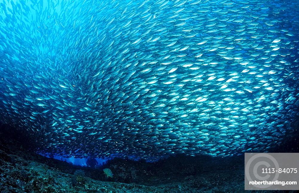 Schooling Pacific chub mackerel, Macarela estornino, Scomber japonicus, Mexico, Sea of Cortez, Baja California, La Paz