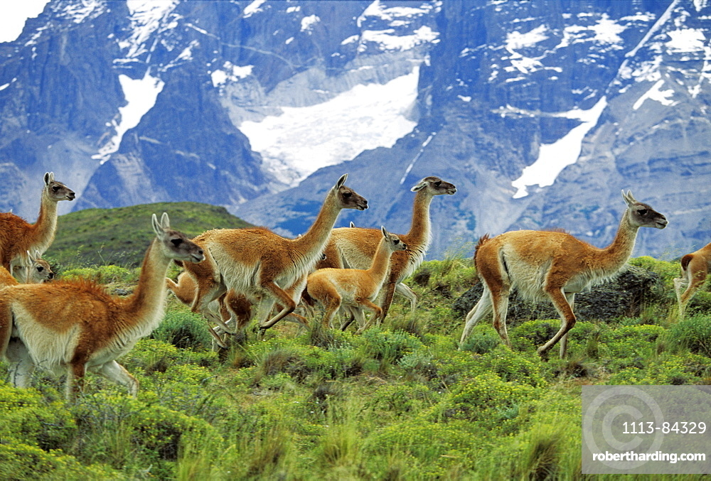 Guanacos, Lama guanicoe, Paine mountains, Torres del Paine Nationalpark, Patagonia, Chile