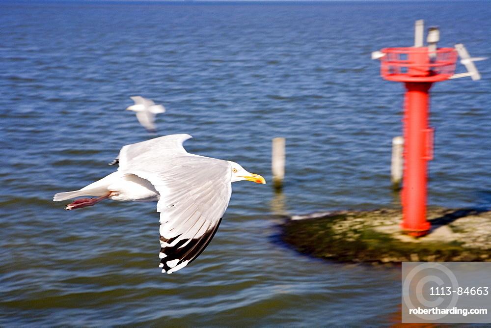 Seagull, East Frisia, North Sea, Lower Saxony, Germany