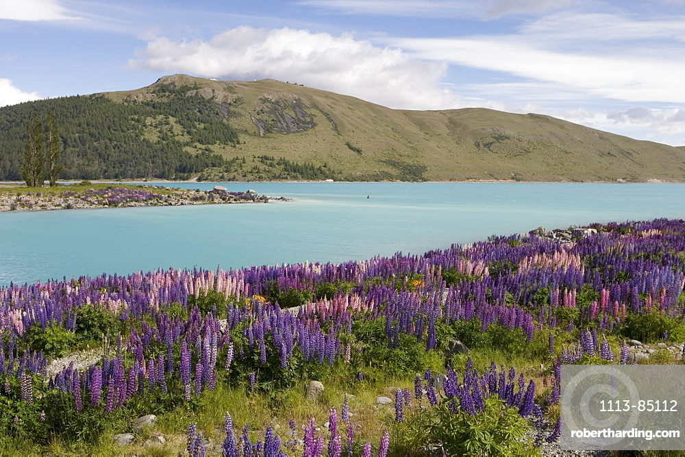 Lupine Field and Lake Tekapo, Lake Tekapo, Mackenzie Country, South Island, New Zealand