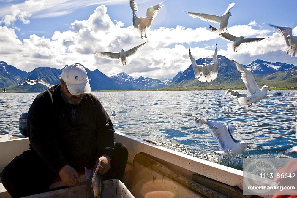 A fisherman cleaning his caught fish, seagulls flying around, Hadselsand, Austvagoya Island, Lofoten, Norway