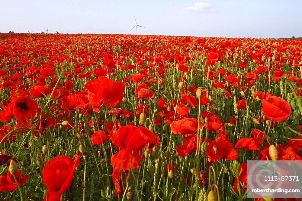 red poppies in grain field, wind turbines on horizon, northern Germany, Europe